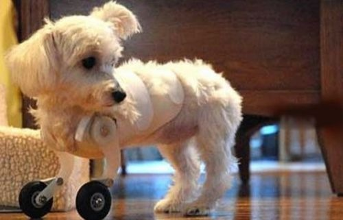 Dog with Prosthetics